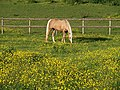 Horse and buttercups - geograph.org.uk - 824909.jpg