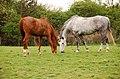 Horses - geograph.org.uk - 413051.jpg