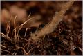 Houbové hyfy a jejich prorůstání ke kořenům rostliny.png