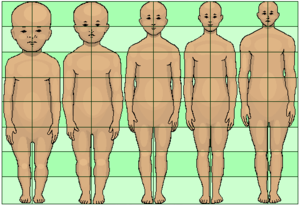 Neoteny - This diagram shows that the head becomes proportionately smaller and the legs proportionately longer as humans mature. Proportionately large heads and proportionately short legs are neotenous features for adults.