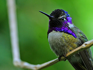 Gorget (bird) - Like many hummingbirds, the male Costa's hummingbird has an iridescent gorget.