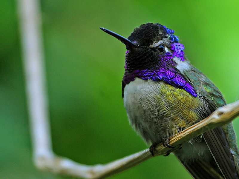 File:Hummingbird.jpg