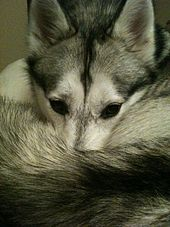 Image Result For Can Husky Dogs