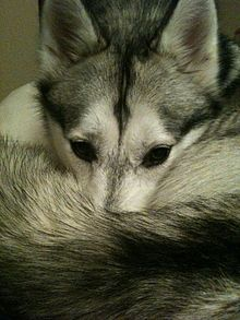 Siberian Husky warming its nose with its tail 649ee538f