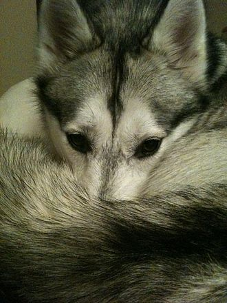 Siberian Husky - Siberian Husky warming its nose with its tail