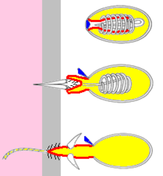 Hydra (genus) - Schematic drawing of a discharging nematocyst