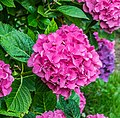 Hydrangea macrophylla in the park of the Castle of Selles-sur-Cher 02.jpg