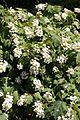 Hydrangea quercifolia - Floraison.jpg