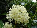 Hydrangea serratifolia (H. et A.) F. Phil por Pato Novoa - 105.jpg
