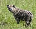 Hyena pup, Masai Mara, Kenya (398884953).jpg