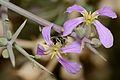 Hylaeus xanthopoda female 2.jpg
