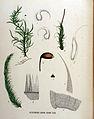 Hylocomium loreum — Flora Batava — Volume v16.jpg