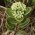 Hylotelephium verticillatum (bud s4).jpg