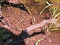 Hymenoptera Sphecidae Sceliphron mud-dauber wasp 6066.jpg