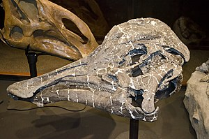 Hypacrosaurus - H. stebingeri holotype skull