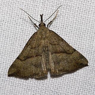 <i>Hypena</i> Genus of moths