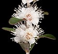 Hypocalymma tetrapterum - Flickr - Kevin Thiele.jpg