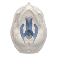 Hypothalamic sulcus - 3rd ventricle - 06.png