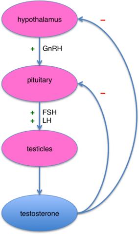 testerone in females