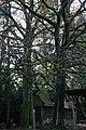 ID 697 2 Traubeneichen.jpg