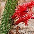 IMG 0982-1-Cleistocactus samaipatanus.jpg
