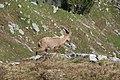 Ibex - panoramio (4).jpg
