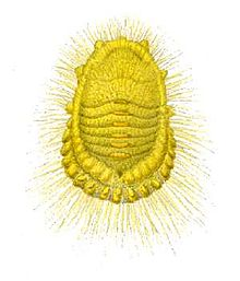 Icerya seychellarum from CSIRO.jpg