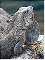 Iguana! (460672101).jpg