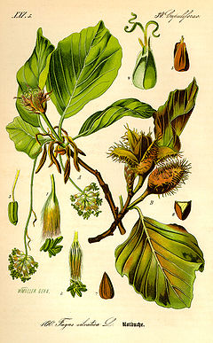 Illustration Fagus sylvatica0.jpg