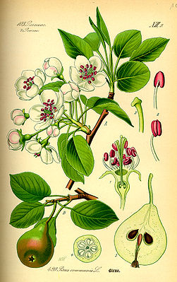 Kultur-Birnen (Pyrus communis), Illustration