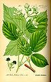 Illustration Rubus pedemontanus0.jpg