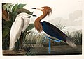 Illustration from Birds of America (1827) by John James Audubon, digitally enhanced by rawpixel-com 257.jpg