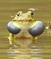 Indian Bullfrog Hoplobatrachus tigerinus by Dr. Raju Kasambe DSCN6470 05.jpg