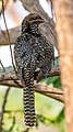 Indian Koel Female.jpg