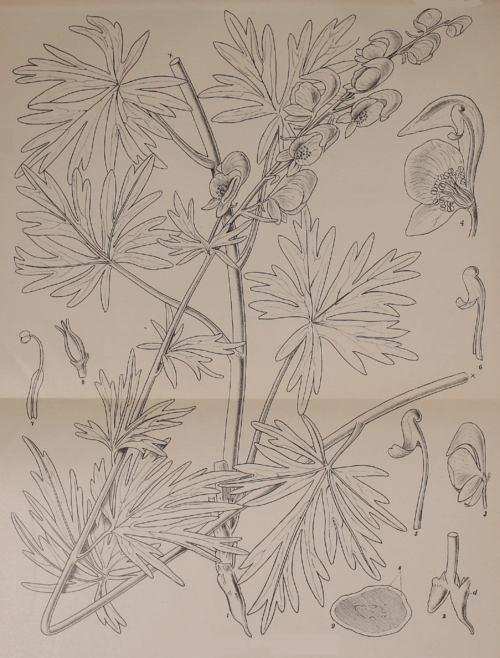 Indian Medicinal Plants - Plate 10 - Aconitum soongaricum.png