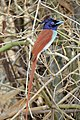 Indian Paradise Flycatcher, Tadoba National Park, Maharashtra (cropped).jpg