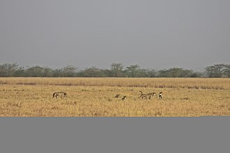 Indian wolf - Indian Wolf Pack at Blackbuck National Park, Gujarat, India