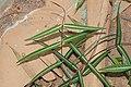 Indian sarsaparilla (Hemidesmus indicus ) 07597.jpg