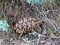 Indian star tortoise IMG 2652.jpg