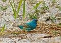 Indigo Bunting, Corkscrew Audubon Sanctuary.jpg