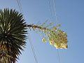 Infloresencia de Yucca filifera.jpg