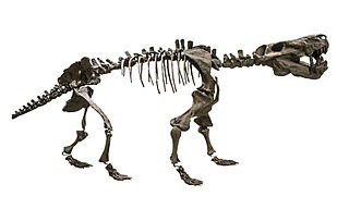 Gorgonopsia Extinct clade of saber-toothed therapsids from the Permian