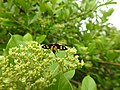 Insects Wasp from Madayipara DSCN2112.jpg