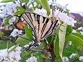 Iphiclides podalirius(closed wings).jpg