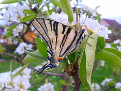 Iphiclides podalirius(closed wings).jpg