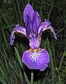 Iris virginica (Virginia iris) (Newark, Ohio, USA) 6 (27773576376).jpg