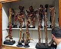 Istituto di anatomia umana normale, museo, campioni di tessuti 03.JPG