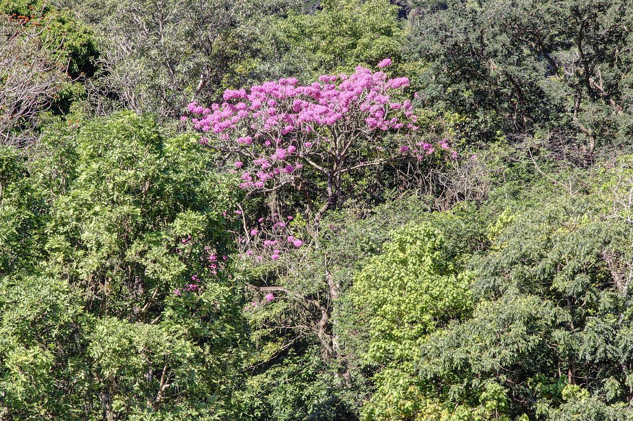 ipe de jardim botânico:Original file  (4,752 × 3,168 pixels, file size: 4.36 MB, MIME