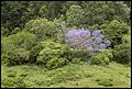 Jacaranda amongst nature-1 (22476728289).jpg