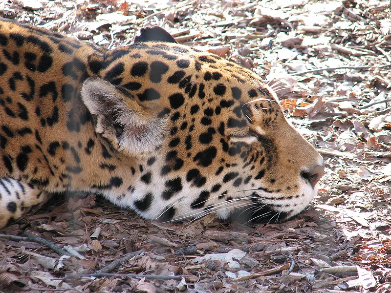 File:Jaguar at Louisville Zoo.jpg